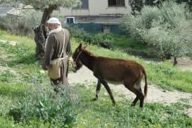 A man leads a donkey in Nazareth Village: Biblical Nazareth
