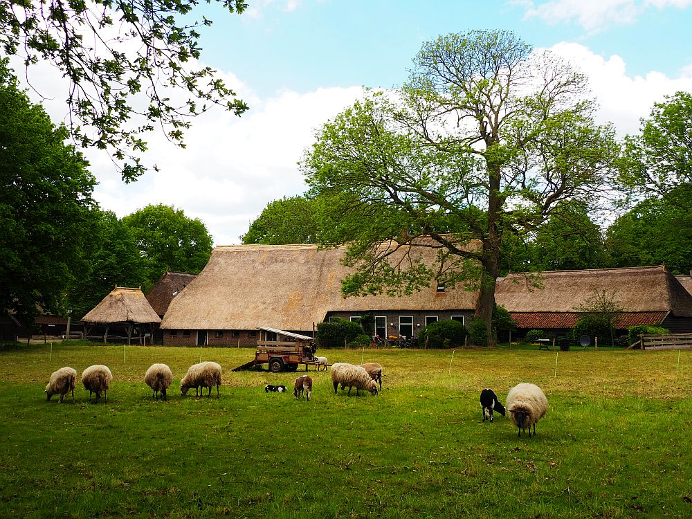 In the foreground a grassy field with an assortment of sheet - white, black, full-grown and lambs - grazing here and there. Behind, a long, low farmhouse. The roof is thatch and reaches to just above the first story, but the peak is perhaps 2-3 stories higher. The house seems to be the middle portion of the building and the barns are attached on each end. A huge tree stands tall above the house.