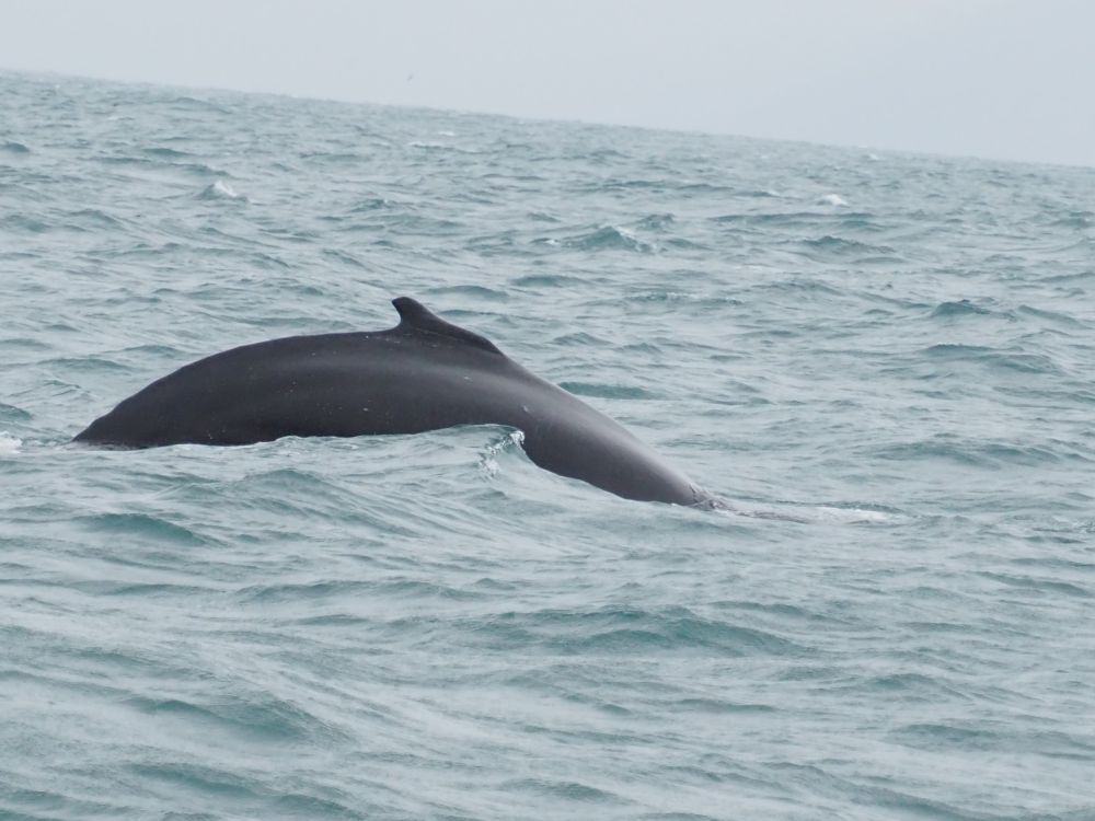 The back of the whale makes a slope out of the water, its dorsal tail on top. The whale is almost black, the water is gray, as is the sky.