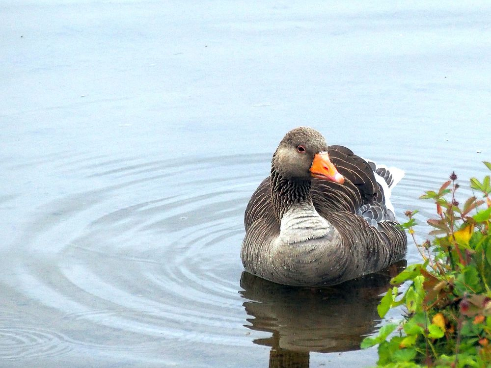 A goose sits on almost still water next to the lake's bank. Facing the camera, beak slightly to one side. Grayish-brown body, white around the base of his neck, orange beak.