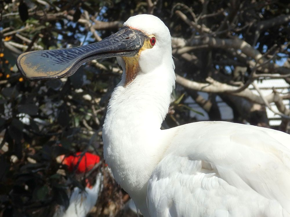 A white bird with a funny beak: a spoonbill, I think. Red eyes.