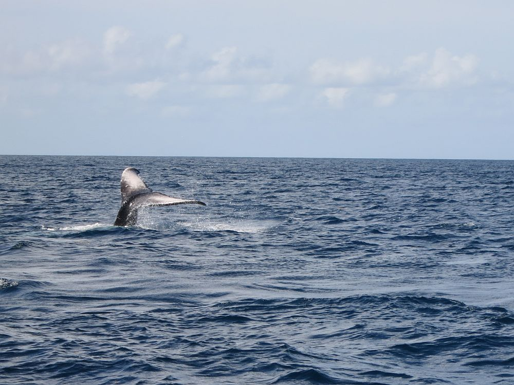 In a view of empty ocean, a whale's tail points upwards out of the water.