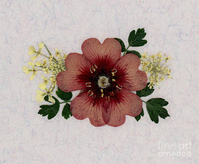 Em Witherspoon   Pressed Flowers   Wall Art Photograph   Potentilla And Queen ann s lace Pressed Flower Arrangement by  Em Witherspoon