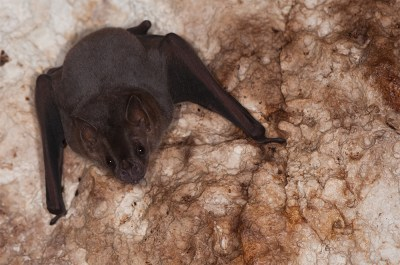 Equilibrium A Distant Dream for Island Bats – Repeating ...