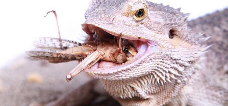 9 Best Live Food to Feed Bearded Dragons to Promote ...
