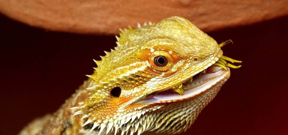 What can your Bearded Dragon eat? The best food for your ...