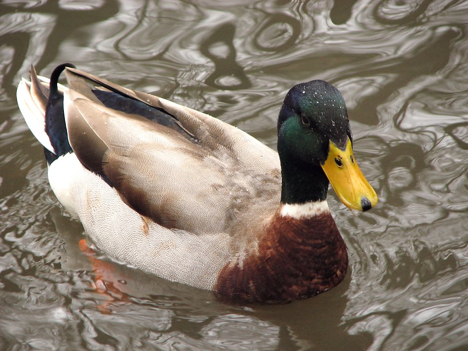 Duck Free Stock Photo Closeup Of A Mallard Duck