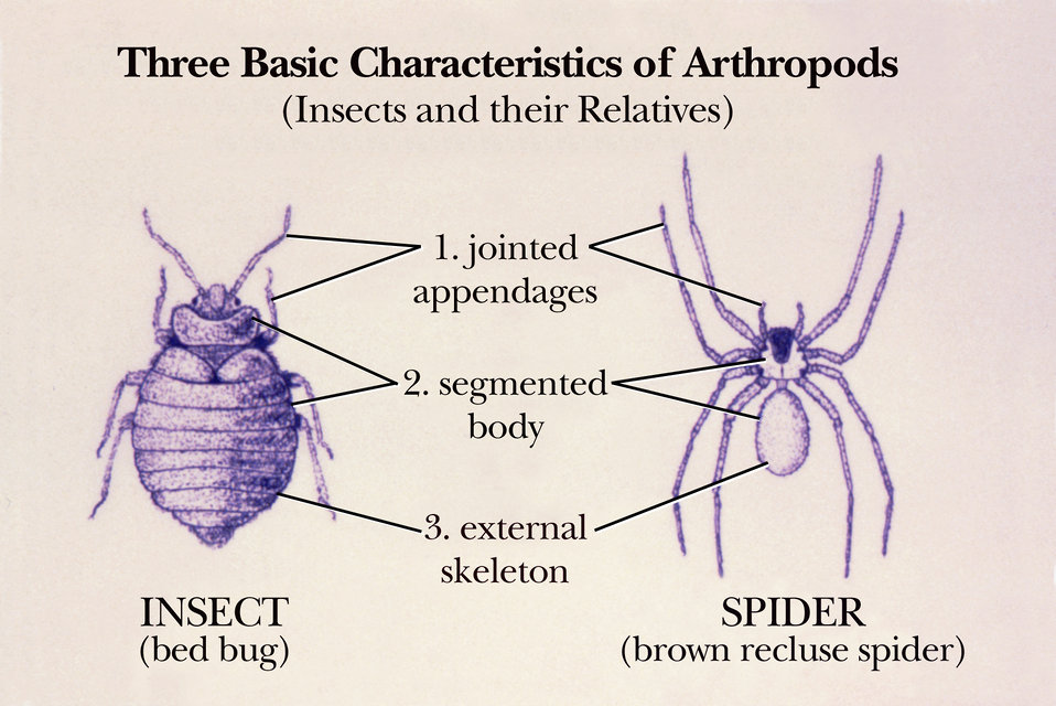 Public Domain Picture | This drawing of a bedbug and a ...