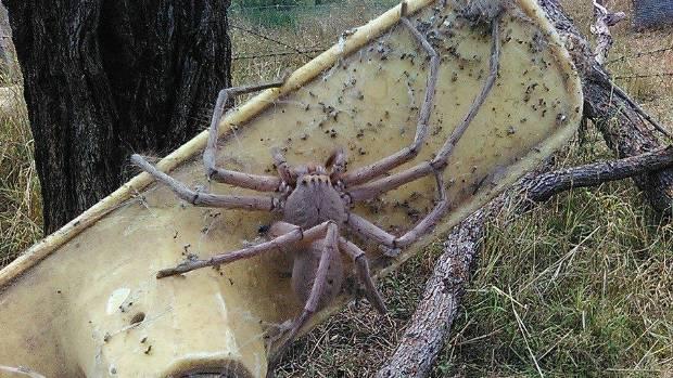 Giant Australia Huntsman 2015 Spiders
