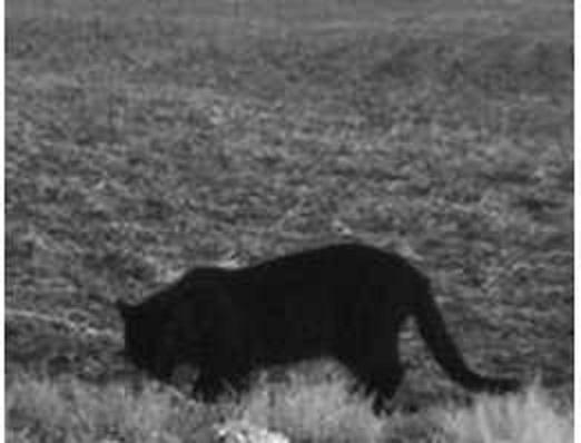 Black jaguar photographed near Guelph, Ontario? | Natural ...