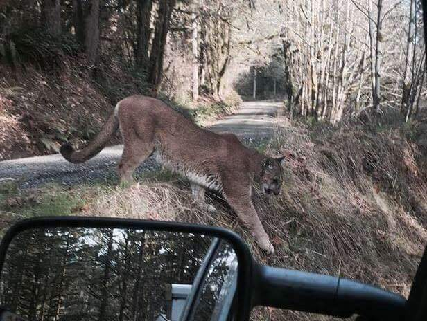 Cougar photographed in West Virginia? | Natural History
