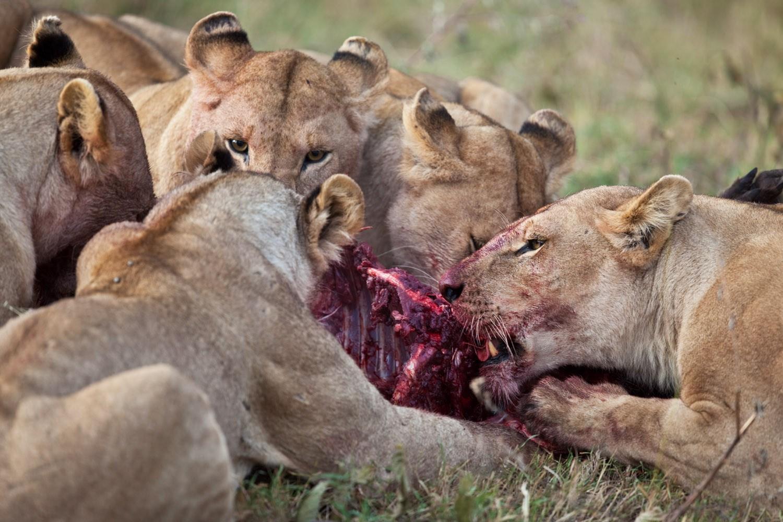 man eaten by lion - HD1500×1000