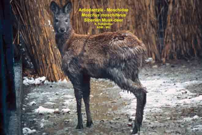 Le Meilleur Moschus Moschiferus 844 American Society Of Mammalogists Ce Mois Ci
