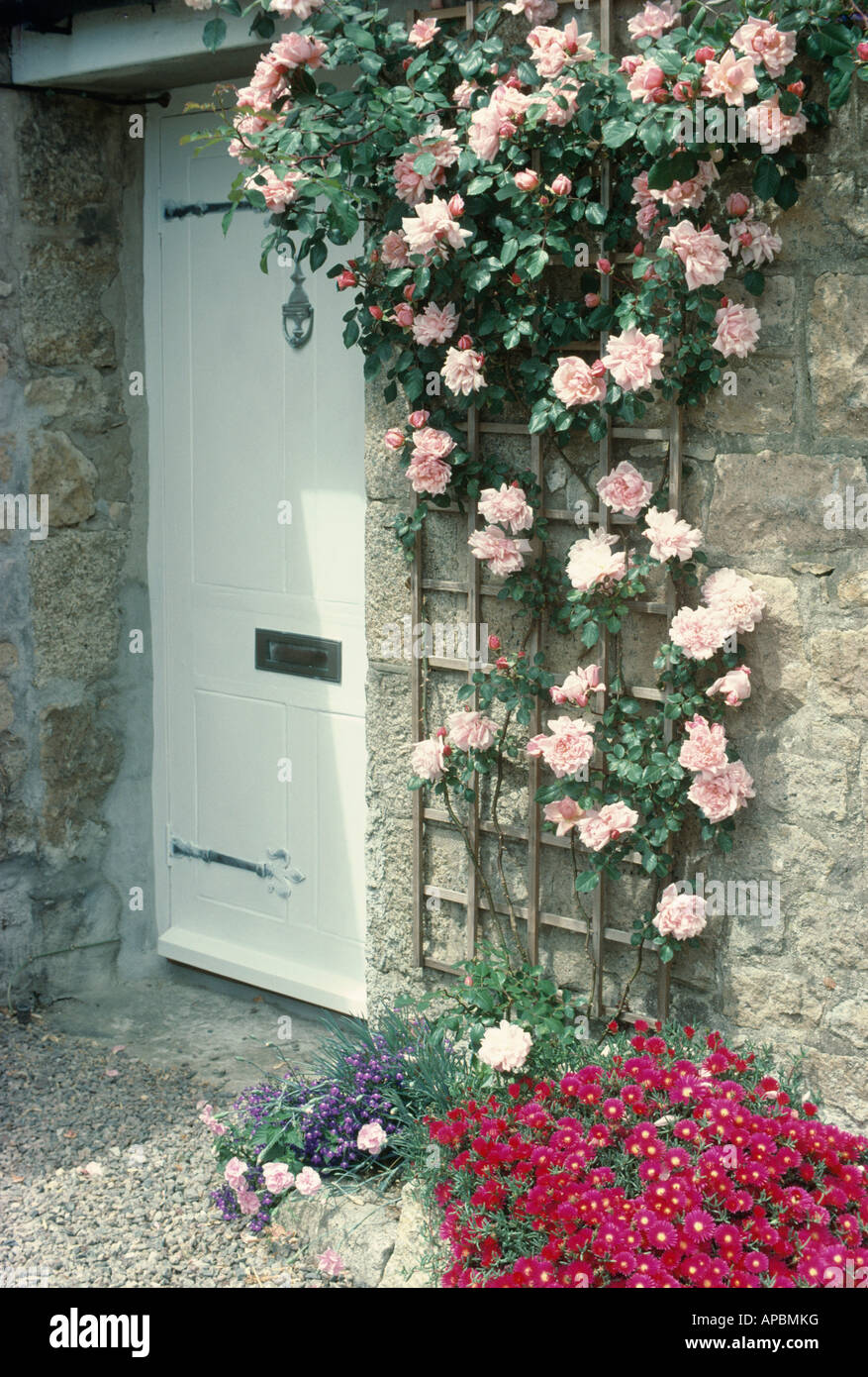 Le Meilleur White Front Door With Pink Climbing Rose Albertine On Ce Mois Ci