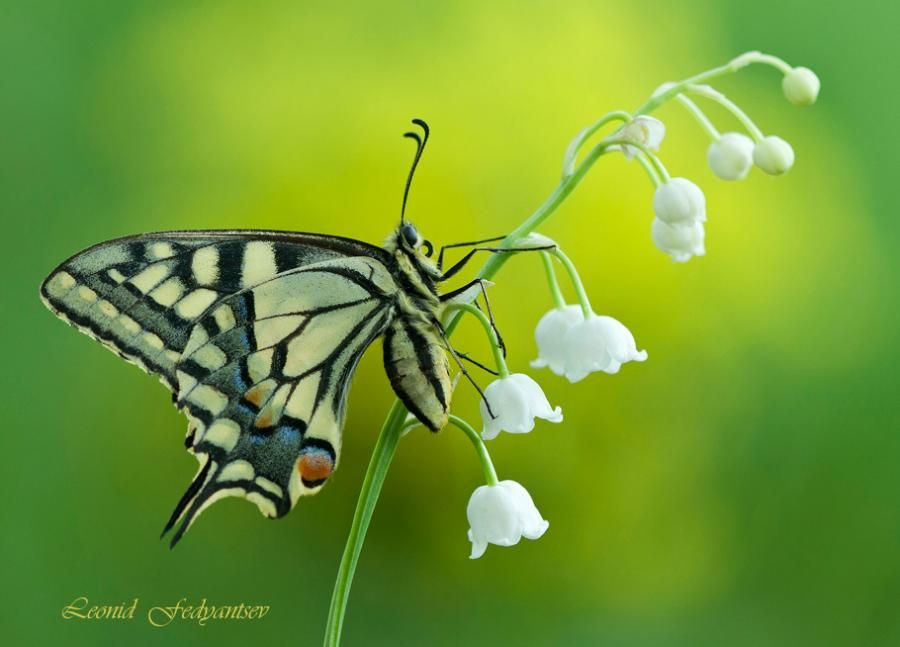Le Meilleur Swallowtail On Lily Of The Valley Papillons Libellules Ce Mois Ci
