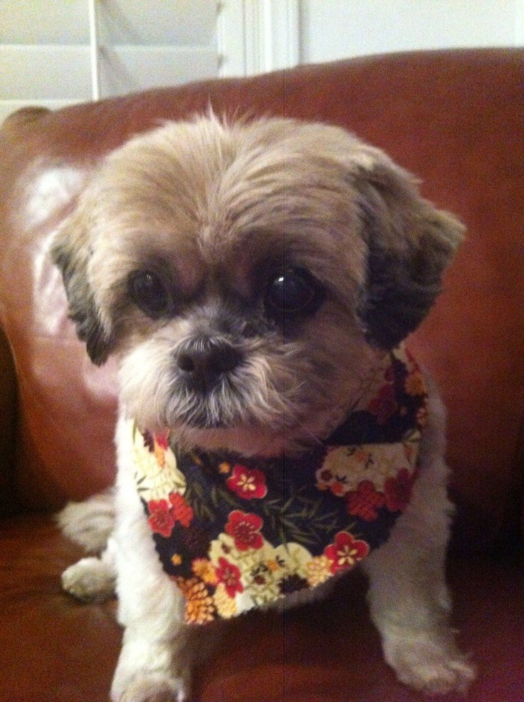The Best 16 Best Shih Tzu Hair Cuts Images On Pinterest Shih Tzus Pictures