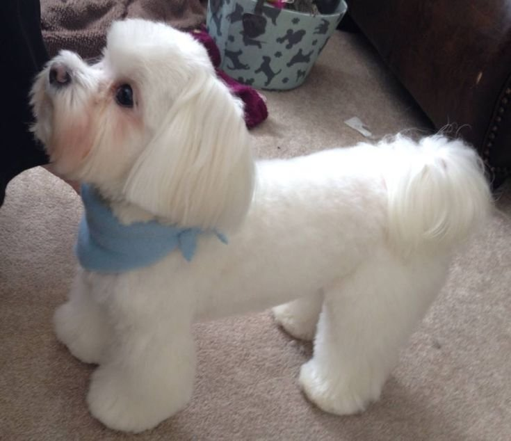 The Best 24 Best Maltese Grooming Hairstyles Images On Pinterest Pictures