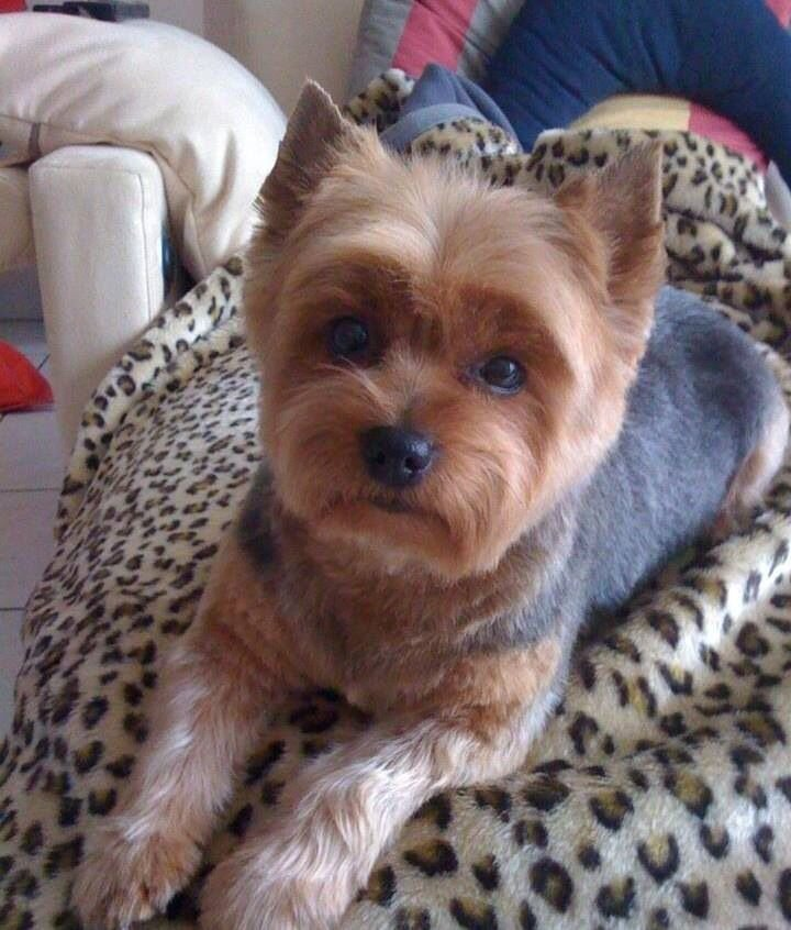 The Best Best 25 Yorkshire Terrier Haircut Ideas On Pinterest Pictures