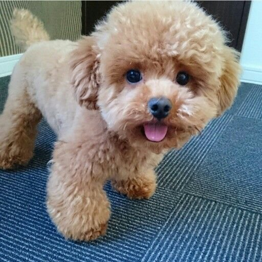 The Best Best 25 Poodle Haircut Ideas On Pinterest Poodles Poodle Teddy Bear Cut And Poodle Cuts Pictures