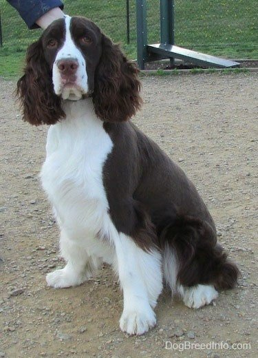 The Best English Springer Spaniel Haircut Haircuts Models Ideas Pictures