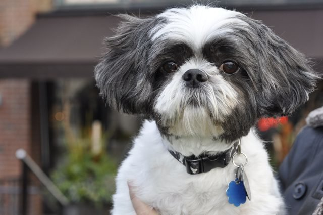 The Best 20 Adorable Shih Tzus With Stunning Haircuts – Hairstylecamp Pictures