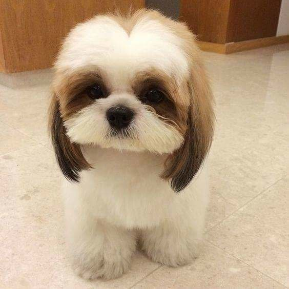 The Best Beyond The Puppy Cut Shih Tzu Hair Styles Pictures