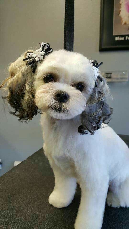 The Best 54 Best Images About Shih Tzu Grooming Hairstyles On Pictures