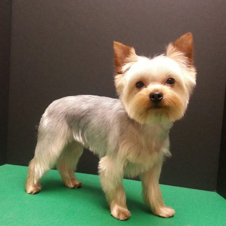 The Best 25 Best Ideas About Yorkshire Terrier Haircut On Pictures