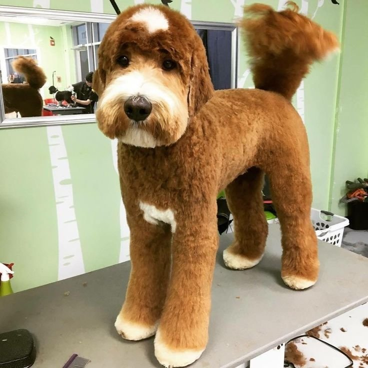 The Best 25 Best Ideas About Goldendoodle Grooming On Pinterest Pictures