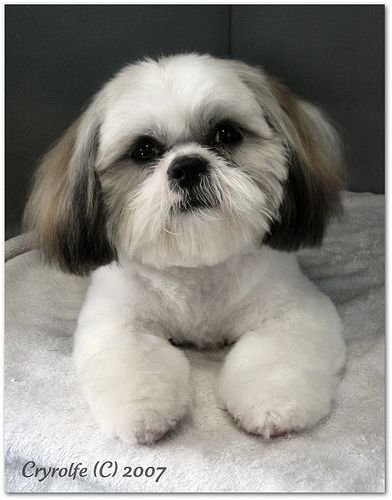The Best Shih Tzu Grooming Style Photos Wow Com Image Results Pictures