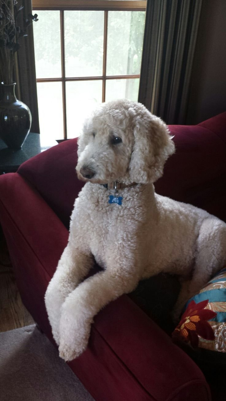 The Best Best 25 Standard Poodles Ideas On Pinterest Pictures