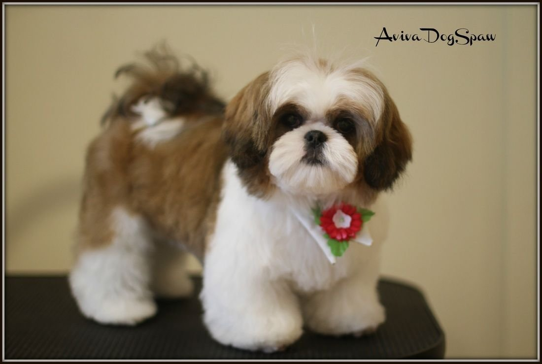 The Best Dog Shih Tzu Puppy Haircuts Cats And Dogs Picture Pictures
