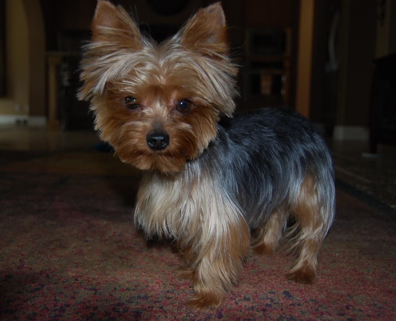The Best Yorkshire Terrier Hairstyles Yorkshire Terrier Haircuts Pictures
