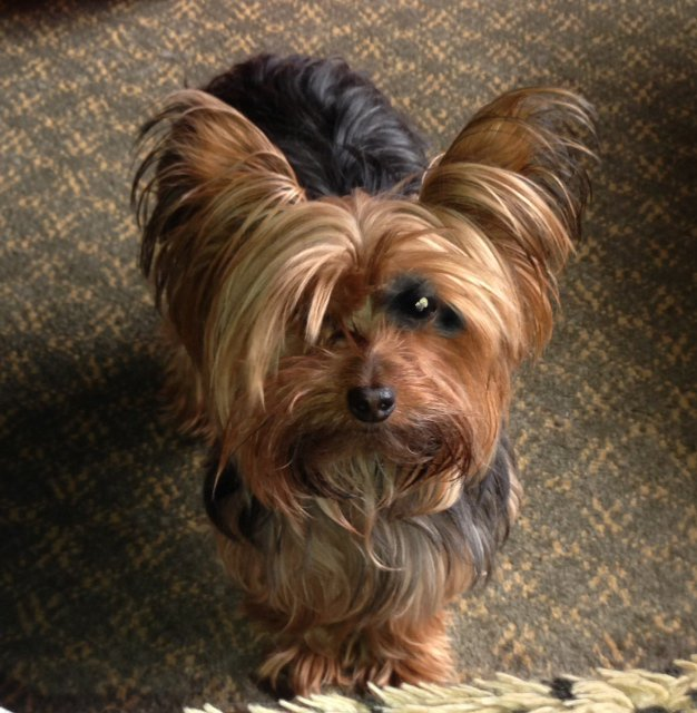 The Best Miniature Yorkshire Terrier June 2013 Pictures