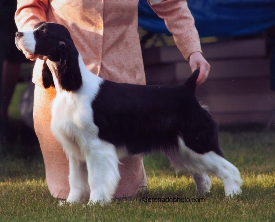 The Best Springer Spaniel Haircut Haircuts Models Ideas Pictures