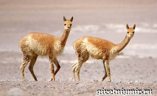 Eläimet Southern-America-Kuvaus-ja -ominaisuudet - Animal South-America-14