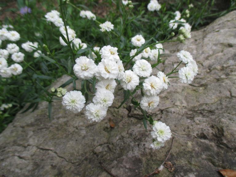Achillea Millefolium Terracotta.