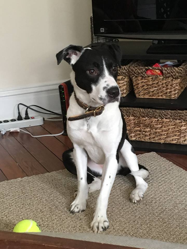 Have You Seen Brook The Black And White Lab Mix