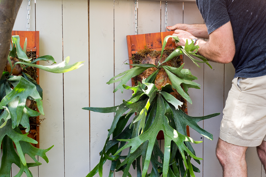 Platycerium Planters Elkhorn And Staghorn Fern Mounts
