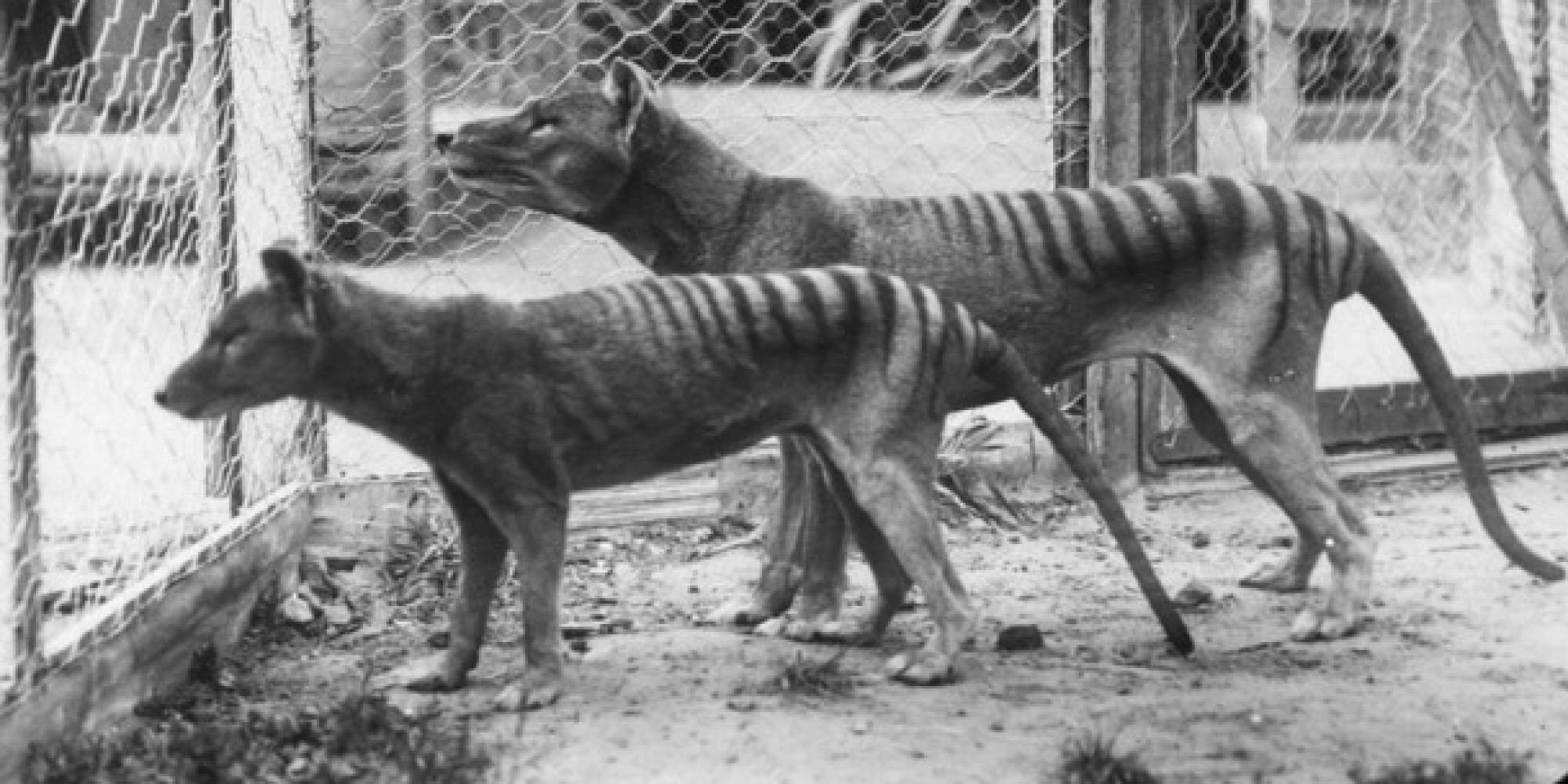 11 Animals That Are Now Extinct     And It s Our Fault   HuffPost