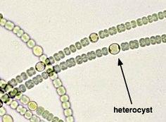 Several blue-green algae:( a) Gloeocapsa; (b) Nostoc ...