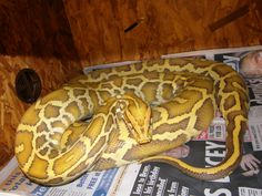 1000+ images about reptiles as pets on Pinterest | Tree ...