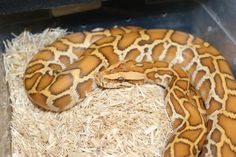 scaleless burmese python   Snake!   Pinterest   Burmese ...