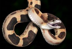 Burmese python, Burmese and Python on Pinterest