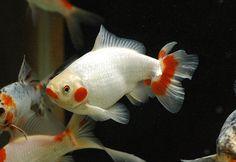 Goldfish - Bristol tailed Comet | Goldfish for the Pond ...