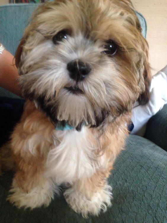 Shih Tzu Yorkie Poodle Mix Puppies