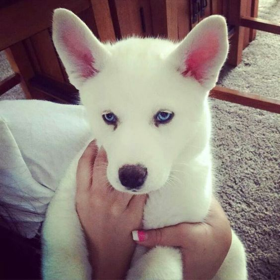 Puppies Siberian Tan Husky White Border Collie