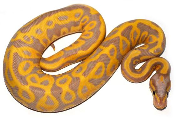 Pied Ball Python Combos