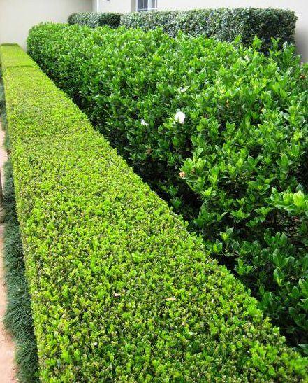 Japanese Box Hedge