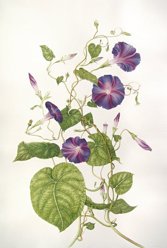 Flower Drawing Vines Morning Glory